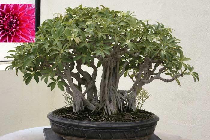 Комнатное растение шеффлера польза и вред