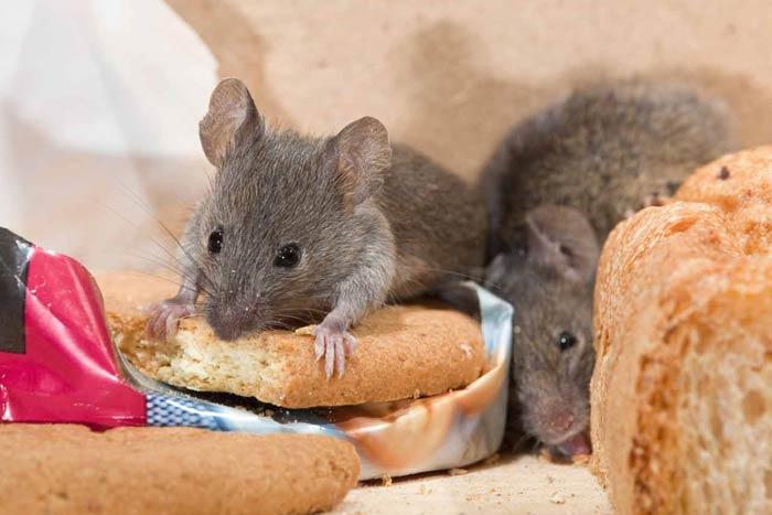 Приметы про мышей: к чему появляются в доме, перебежала дорогу