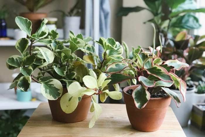 Уход за цветком пеперомия в домашних условиях виды размножение польза и вред