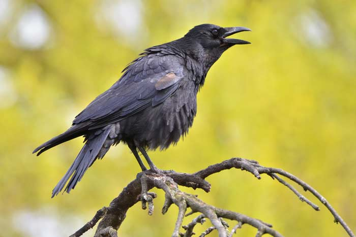 Ворона убила человека